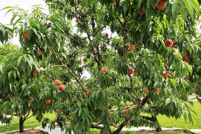 4桃の木_s